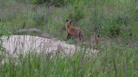在散兵坑的幼小狐狸 股票录像