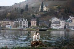 在散步的狗在城市 与宠物的旅行 杰克罗素狗本质上 免版税图库摄影