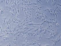 在文化的干细胞 免版税库存图片