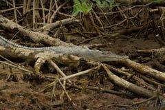 在文莱的美洲红树察觉的鳄鱼 库存图片