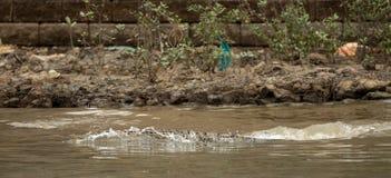 在文莱的资本斯里巴加湾察觉的鳄鱼 免版税库存照片