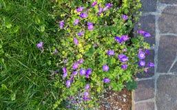 在斑岩边路旁边的紫色大竺葵花圃 库存照片