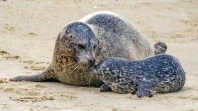 在斑海豹和她的小狗之间的感人的片刻 免版税图库摄影