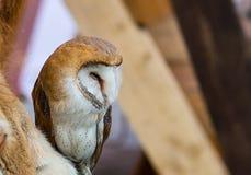 在斑点的可爱的幼小猫头鹰与白色腹部和红发棕色全身羽毛在外形 库存图片