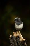 在斑点轻的蓝色-加盖的Redstart- (Phoenicurus caeruleocephala) 免版税库存照片