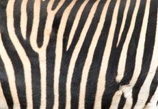 在斑马的皮肤的条纹 图库摄影