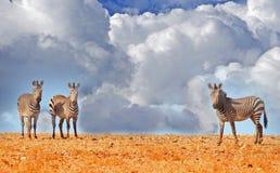 在斜坡的三匹斑马 免版税库存图片