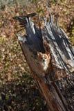 在断枝的奇瓦瓦狗 免版税图库摄影