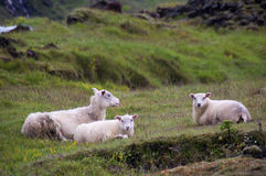 在断裂的绵羊 免版税库存照片