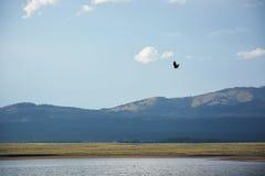 在斯内克河上的白头鹰飞行 库存照片