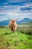 在斯凯岛小岛的毛茸的高地母牛在苏格兰 免版税库存照片