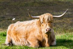 在斯凯岛,苏格兰小岛的毛茸的高地母牛  库存照片