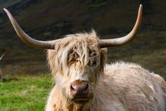 在斯凯岛,苏格兰小岛的毛茸的高地母牛  免版税库存照片