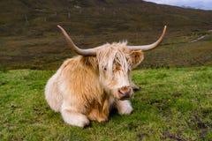 在斯凯岛,苏格兰小岛的毛茸的高地母牛  免版税库存图片