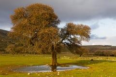 在斯基罗斯岛海岛,希腊的狂放和居住的部分的孤立树 免版税库存照片