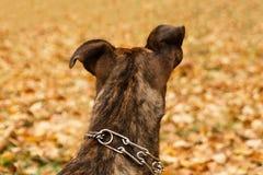 在斯塔福德郡狗狗的后面看法在秋天背景的在公园离开 免版税库存图片
