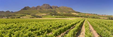 在斯泰伦博斯附近的葡萄园在南非 免版税库存照片