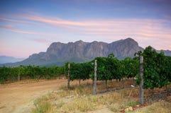 在斯泰伦博斯,西开普省,南非, Afric附近的葡萄园 免版税图库摄影