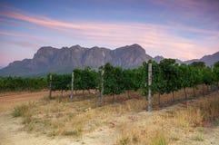 在斯泰伦博斯,西开普省,南非, Afric附近的葡萄园 库存照片