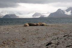 在斯瓦尔巴特群岛海岸的海象 免版税库存照片