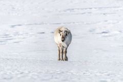 在斯瓦尔巴特群岛雪的幼小母驯鹿  免版税库存图片
