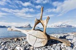 在斯瓦尔巴特群岛海岸的老鲸鱼骨头 图库摄影