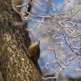 在斯诺伊树的五子雀 库存图片