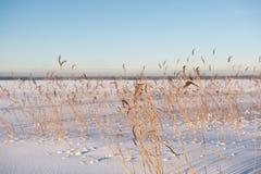 在斯诺伊领域的干燥藤茎 免版税库存图片
