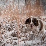 在斯诺伊领域的英国斯伯林格西班牙猎狗 免版税库存照片