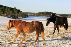 在斯诺伊领域的马在冬天 免版税图库摄影