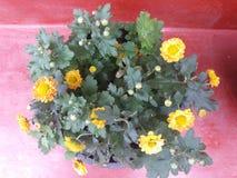在斯里兰卡家庭gradan花的美丽的花气喘 图库摄影