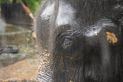 在斯里兰卡的moonson的亚洲大象 免版税库存图片