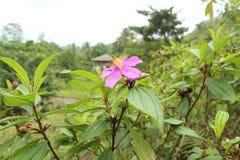 在斯里兰卡自然的Bovitiya花 免版税库存图片