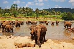 在斯里南卡的大象 库存图片