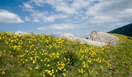 在斯洛伐克山的春天花 免版税图库摄影