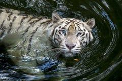 在新加坡动物园的一只白色老虎在新加坡 免版税库存照片