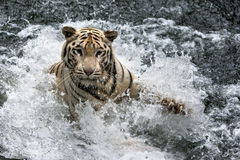 在新加坡动物园的一只白色老虎在新加坡 图库摄影