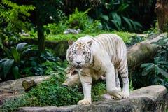 在新加坡动物园的孟加拉老虎 免版税库存照片