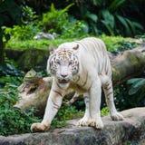 在新加坡动物园的孟加拉老虎 库存图片