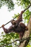 在新加坡动物园的孟加拉老虎 免版税库存图片