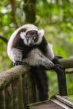 在新加坡动物园的狐猴 图库摄影