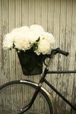 在新娘的自行车的牡丹 图库摄影