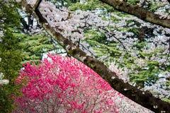 在新宿Gyoen,东京,日本的樱桃和桃子开花 免版税库存图片