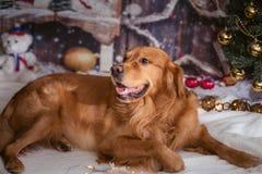 在新年背景的金毛猎犬狗 库存图片