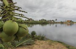 在新生的海滩-,巴西的椰子 免版税库存图片