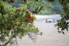 在新的密友海滩的开花的pohutukawa 图库摄影