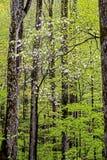 在新的成长中的垂直开花的椋木树在Smokies 免版税库存图片