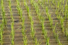 在新的种植的季节的米领域 免版税库存图片