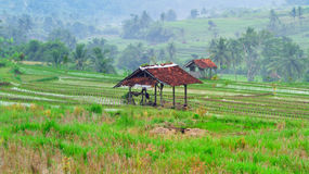 在新的米领域中间的小屋在植物中 免版税库存图片