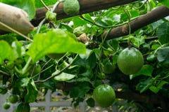 在新绿色的激情从果子没有被烹调,准备 库存图片